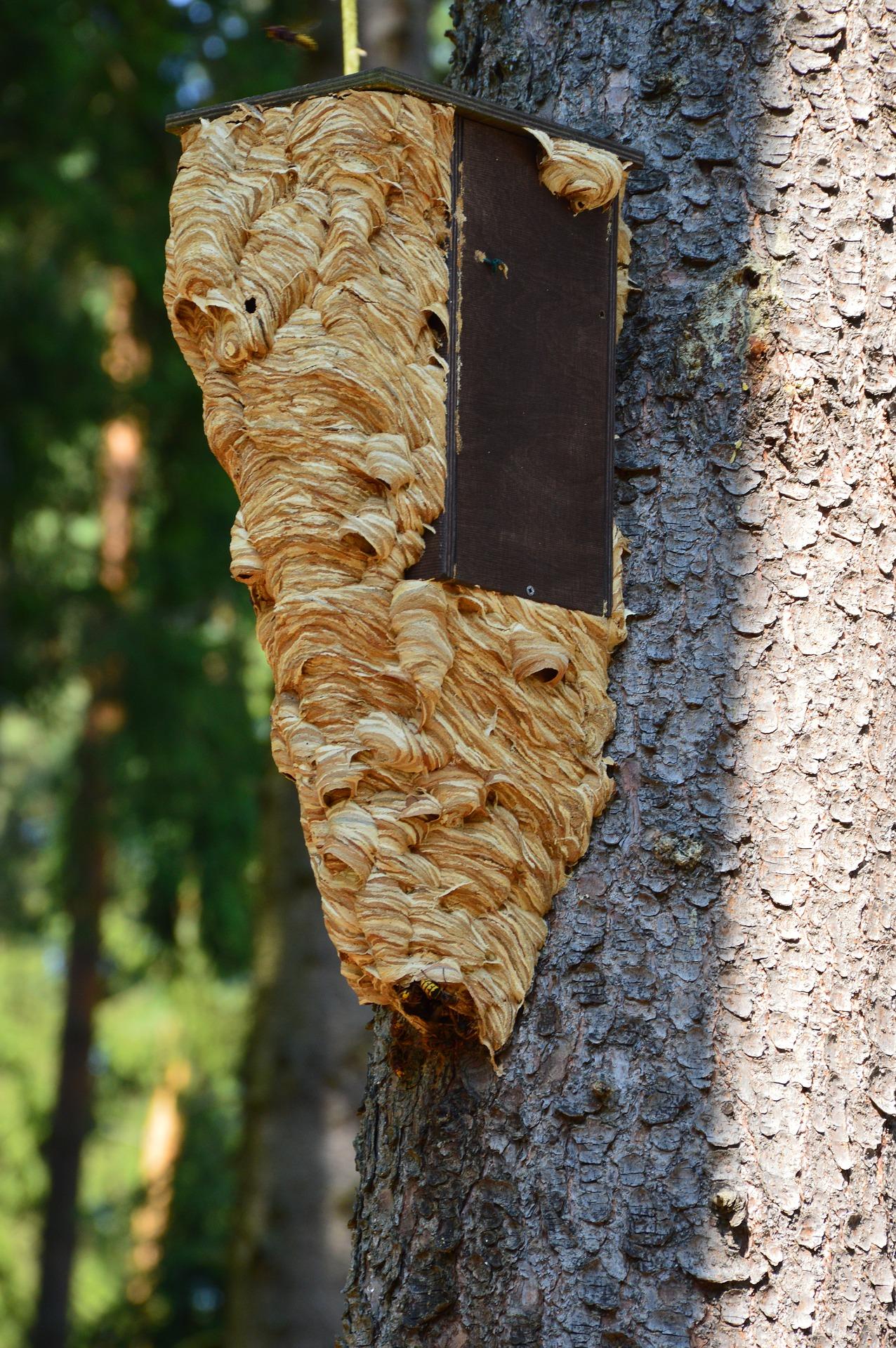 eradication nid de frelons europeen 77 seine et marne