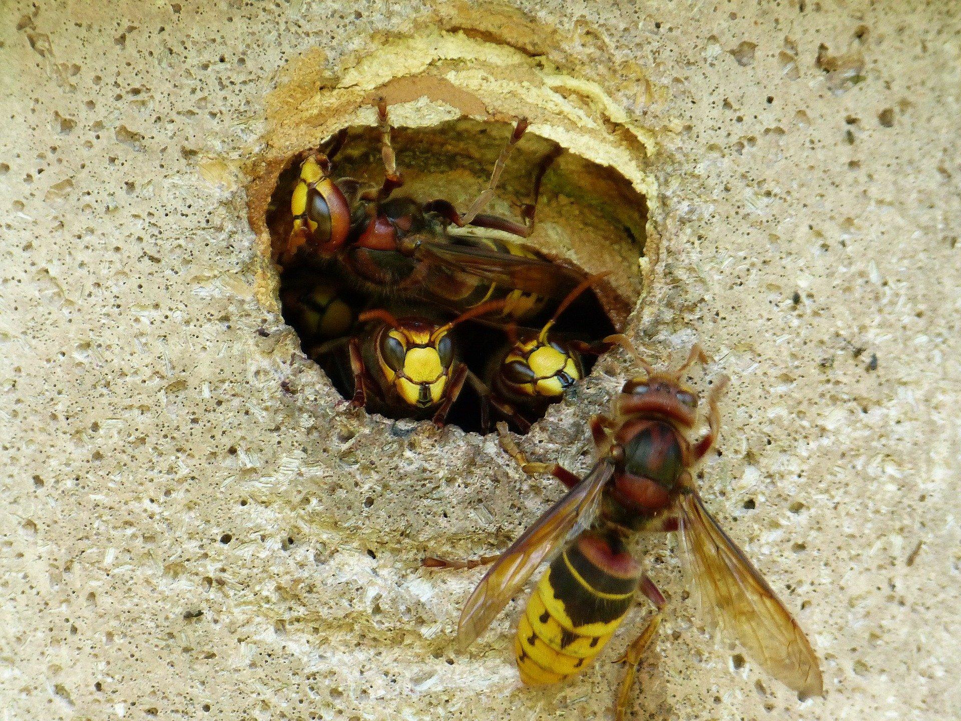 destruction nid de guêpes Beaumont-du-Gâtinais 77890